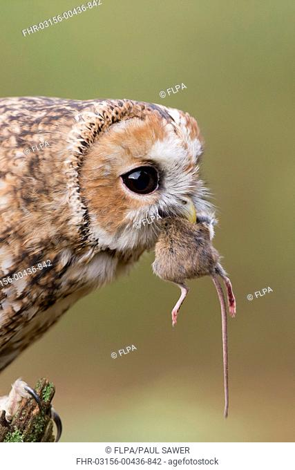 Tawny Owl (Strix aluco) adult, close-up of head, feeding on Wood Mouse (Apodemus sylvaticus) prey, Suffolk, England, October (captive)