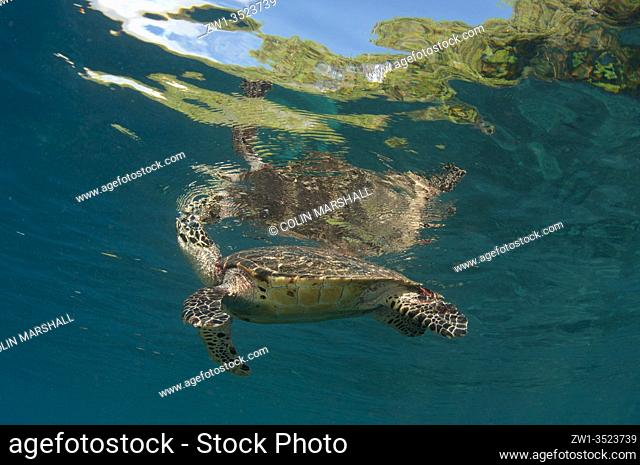 Hawksbill Turtle (Eretmochelys imbricata) at surface breathing air, Cape Kri dive site, Dampier Strait, Raja Ampat, Indonesia