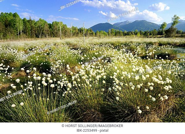 Bog pond in the foothills of the Alps with Hare's-tail Cottongrass, Tussock Cottongrass or Sheathed Cottonsedge (Eriophorum vaginatum L