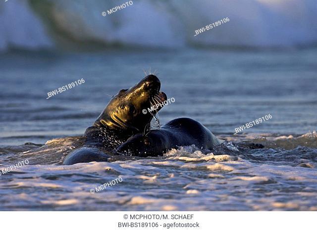 gray seal (Halichoerus grypus), fighting bulls, Germany, Schleswig-Holstein, Heligoland
