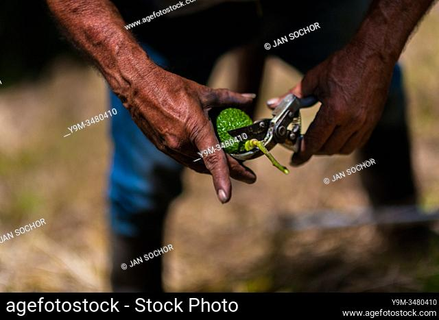 A Colombian farm worker cuts off the stem of an avocado fruit at a plantation near Sonsón, Antioquia department, Colombia, 22 November 2019