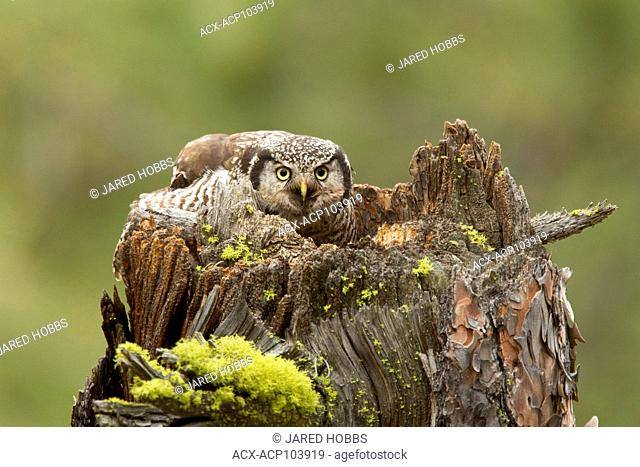 Northern Hawk Owl, Surnia ulula, tending it's young in Lillooet, British Columbia, Canada