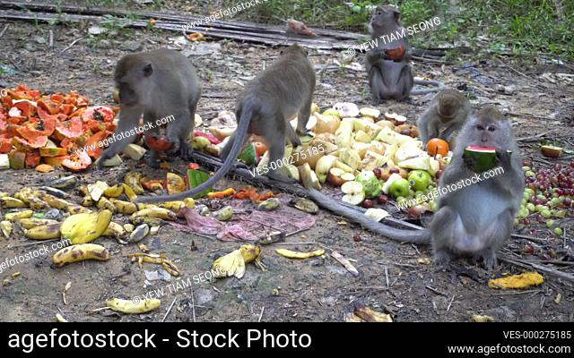 Monkeys eat the fruit at the ground