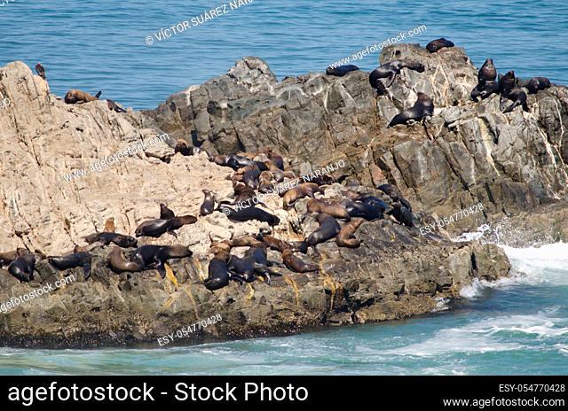 South American sea lions Otaria flavescens on a rocky cliff. Las Cuevas. Arica. Arica y Parinacota Region. Chile
