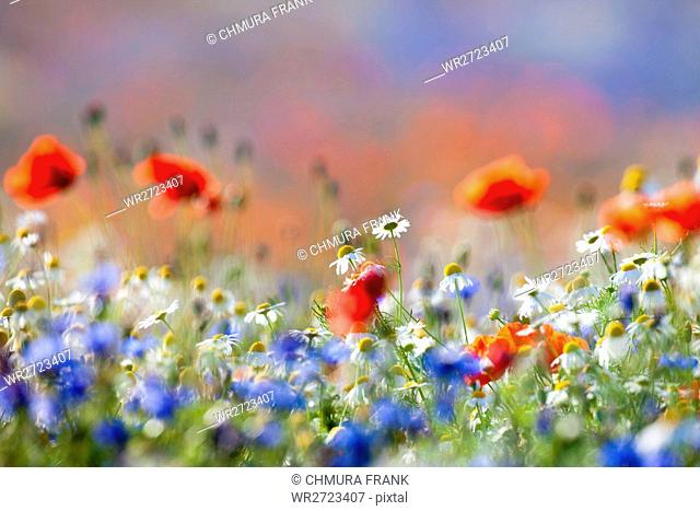 beautiful, beauty, bloom, blooming, blossom, blue, colour, colourful, country, countryside, daisy, field, floral, flower, flowers, green, grow, landscape, light