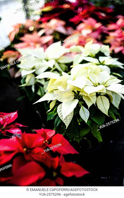 Plant poinsettia, Euphorbia pulcherrima