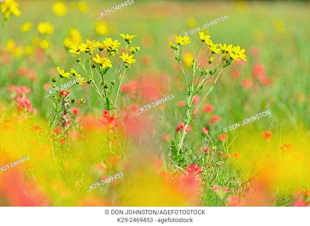 Engelmann's daisy (Engelmannia peristenia) and Texas paintbrush (Castilleja indivisa), Johnson City, Texas, USA