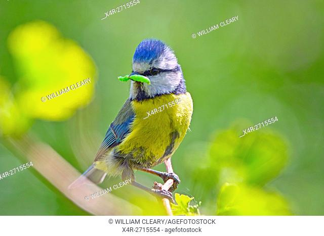 Blue-tit with a caterpillar in his beak as he prepares to enter his nest to feed his young