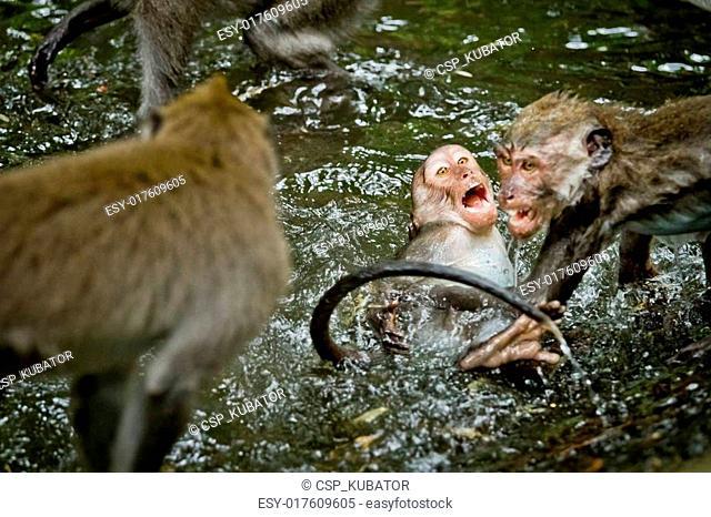 Monkey (Macaca fascicularis)