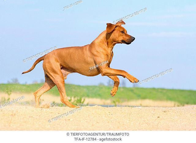 running Rhodesian Ridgeback