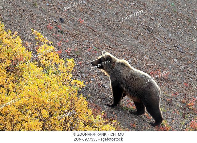 Grizzly Denali NP Alaska