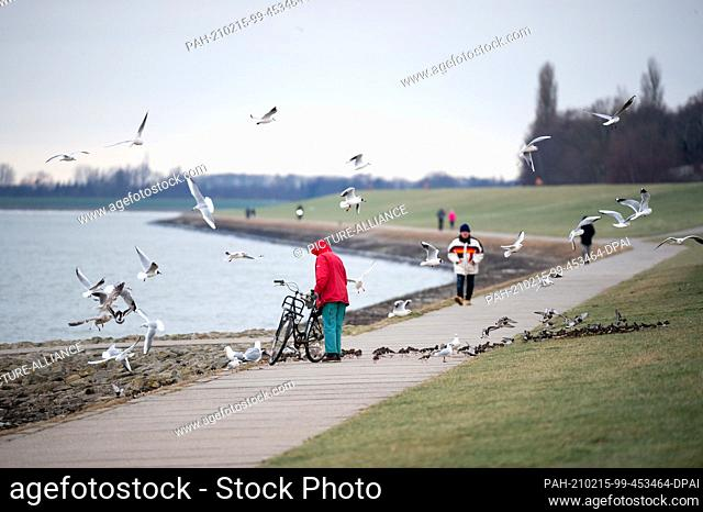 10 February 2021, Lower Saxony, Wilhelmshaven: Laughing gulls (Chroicocephalus ridibundus) and turnstones (Arenaria interpres) flutter and run around a woman on...
