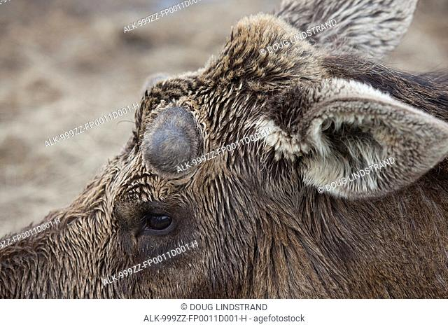 Close up of an adult bull moose in the early stages of antler growth, Southcentral Alaska, Spring
