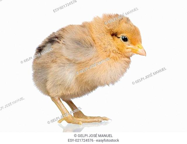 Little yellow chicken