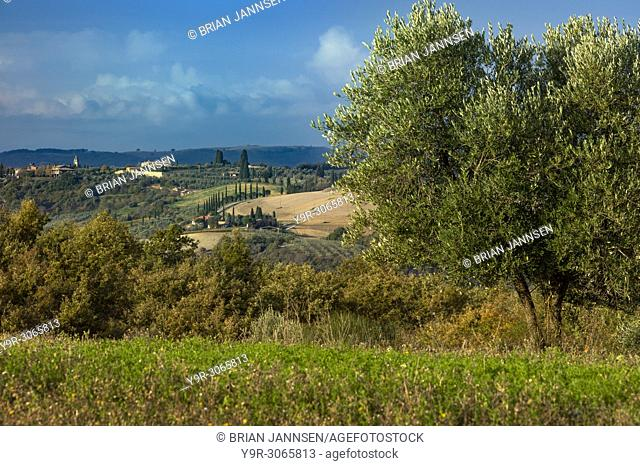 Olive tree and Tuscan Countryside near Pienza, Tuscany, Italy