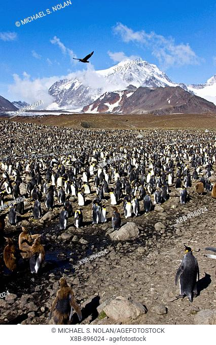 King Penguin (Aptenodytes patagonicus) breeding and nesting colonies on South Georgia Island, Southern Ocean. King penguins are rarely found below 60 degrees...