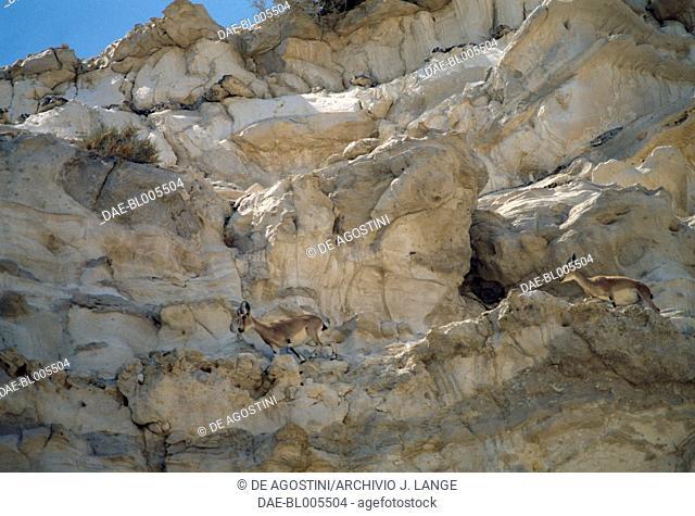 Nubian ibex (Capra nubiana) in the Ein Avdat canyon, Nahal Zin, Negev Desert, Israel