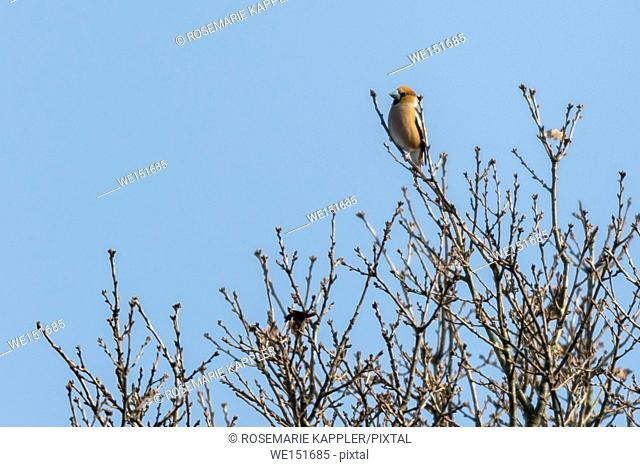 germany, saarland, bexbach, A grosbeak is sitting on a branch