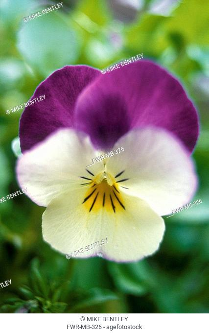 Viola wittrockiana, Pansy