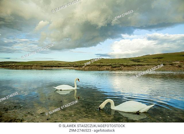 Mute swans at Cuckmere haven near Eastbourne, East Sussex, England. South Downs National Park