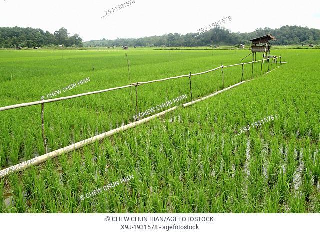 Screen of Paddy field in borneo, Sarawak, Malaysia
