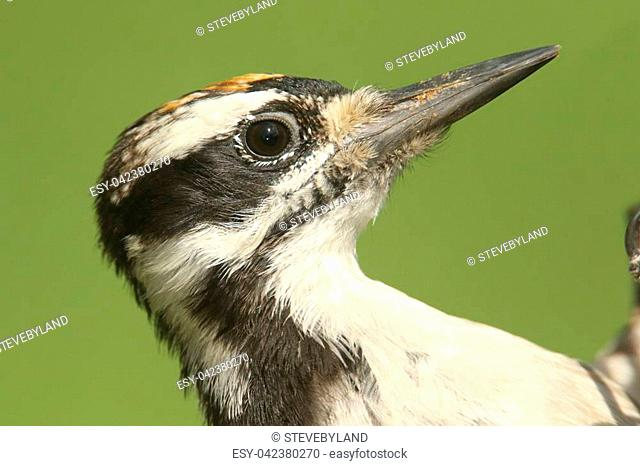 Close-up of a Juvenile Hairy Woodpecker (Picoides villosus) with a green background