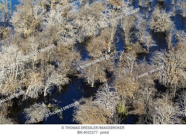 Dead Mopane trees (Colophospermum mopane) in a freshwater marsh, aerial view, Okavango Delta, Botswana