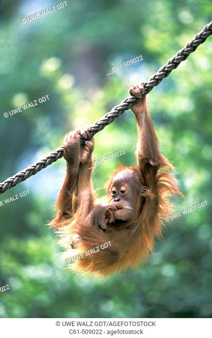 Sumatra Orangutan cub (Pongo pygmaeus abelii)