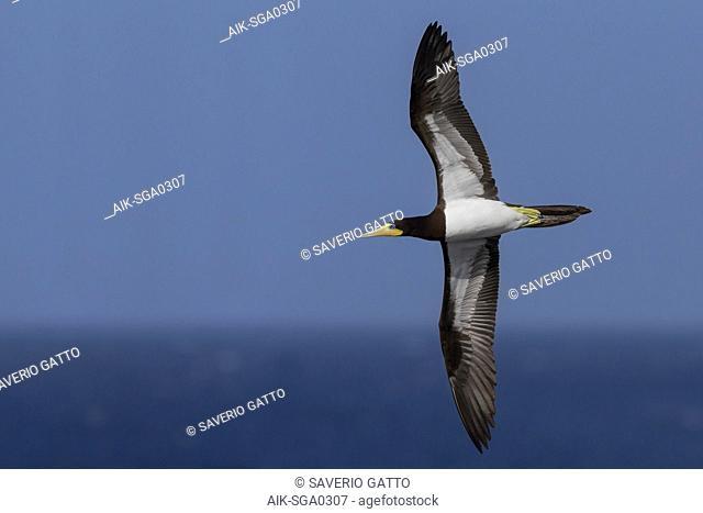 Brown Booby, adult, flight, Razo, Cape Verde (Sula leucogaster)