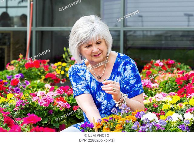 Mature woman shopping for outdoor plants in a garden centre; St. Albert, Alberta, Canada