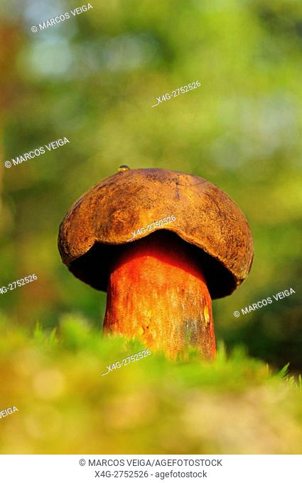 Red-stripped Bolete (Boletus erythropus)