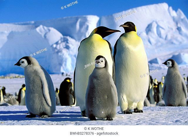 Emperor penguin Aptenodytes forsteri, Emperor Penguins with chicks, Antarctica