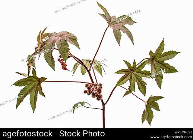 Ricinus communis, castorbean or castor-oil-plant, isolated on white background