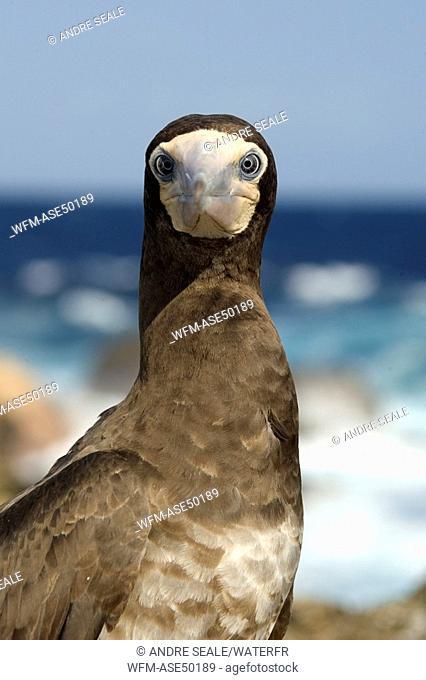Brown booby, Sula leucogaster, Saint Peter and Saint Paul Rocks, Atlantic Ocean, Brazil
