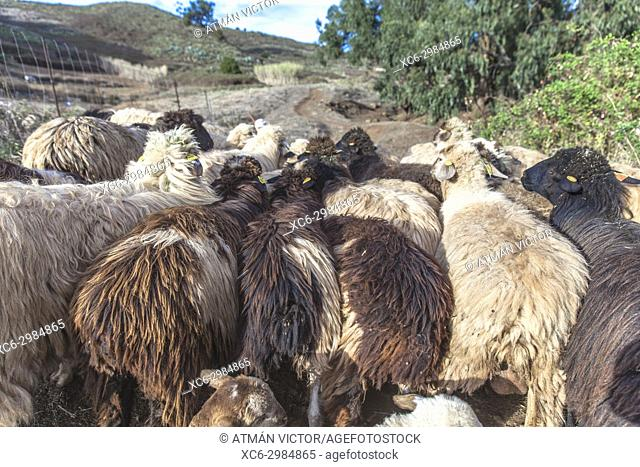 sheep herd grazing in the open air. San Cristóbal de La Laguna, Tenerife, Canary Islands, Spain