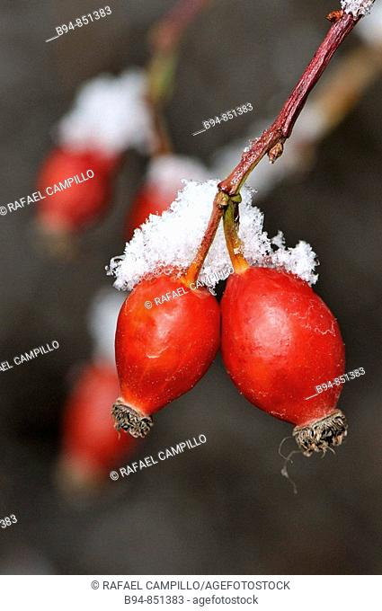 Frosted fruits of Dog Rose (Rosa canina). Osseja, Languedoc-Roussillon, Pyrenees Orientales, France