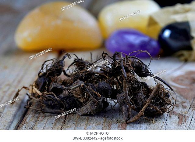 Galingale, Coco-grass, Purple nut sedge, Red nut sedge, Nut grass (Cyperus rotundus), Musta roots