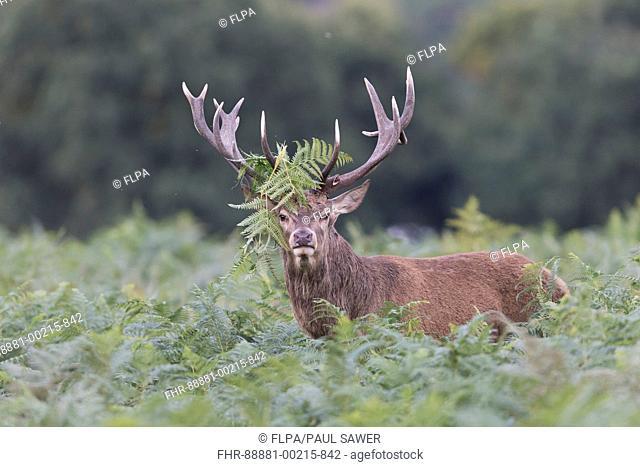 Red Deer (Cervus elaphus) stag, standing among bracken during rut, with bracken on antlers, Richmond Park, Richmond Upon Thames, London, England, October