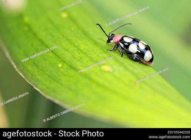 Beetle, Tropical Rainforest, Costa Rica, Central America, America