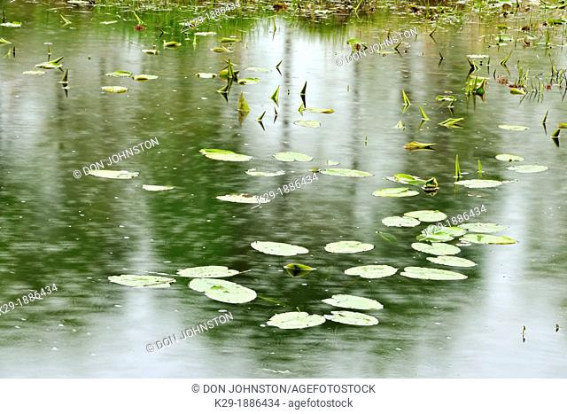 Fairbank Creek with spring grasses, water lily leaves and raindrops, Greater Sudbury Whitefish, Ontario, Canada