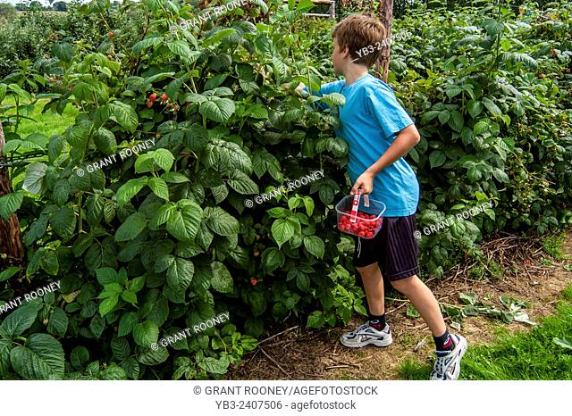 A Boy Picking Raspberries At A Pick Your Own Fruit Farm, Sussex, Uk
