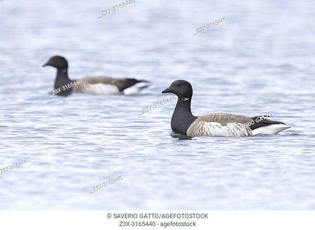 Brant Goose (Branta bernicla hrota), adults swimming in the sea