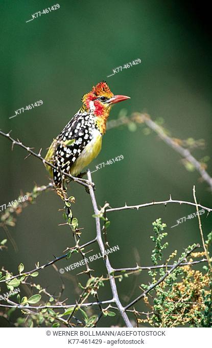 Red-and-yellow Barbet (Trachyphonus erythrocephalus). Samburu National Reserve. Kenya