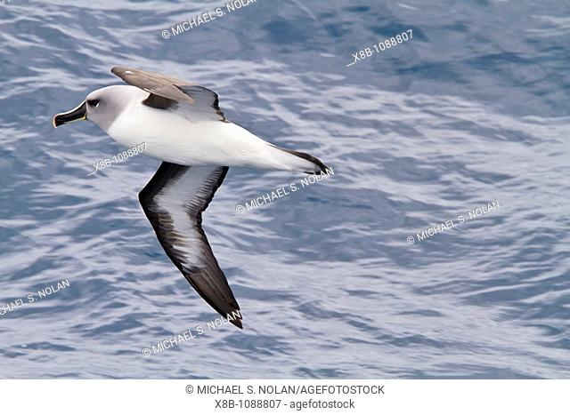 Adult Grey-headed Albatross, Thalassarche chrysostoma on the wing in the Drake Passage between South America and the Antarctic Peninsula