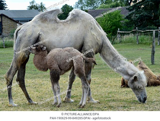 28 June 2019, Brandenburg, Nassenheide: Camel baby Frieda pushes for his mother. Already four young animals were born in the last weeks on the Kamelhof