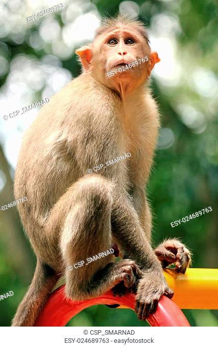 indian rhesus macaque monkey (macaca mulatta) in a park