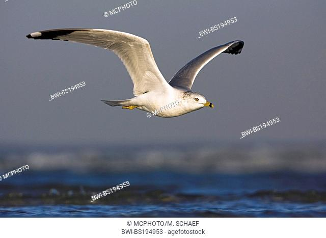 ring-billed gull (Larus delawarensis), in flight, USA, Florida
