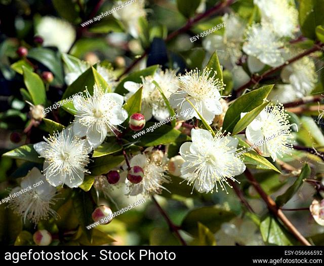 Myrte; Myrtus communis