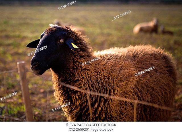 A sheep in La Mola. Formentera (Balearic Islands)