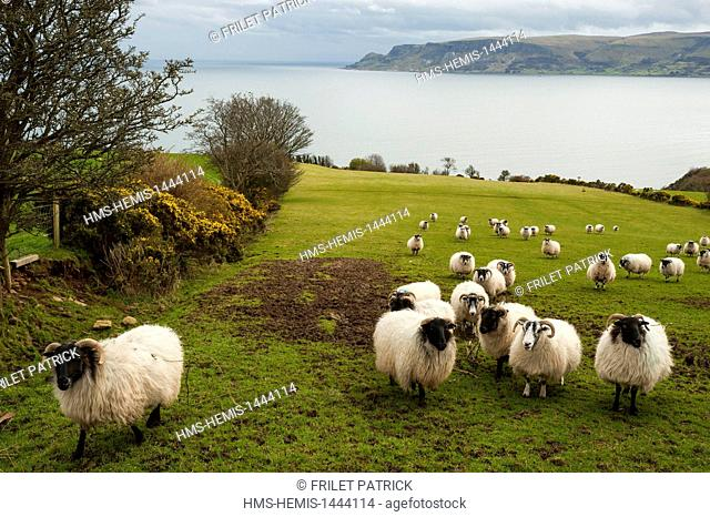 United Kingdom, Northern Ireland, County Antrim, Cushendall, sheep